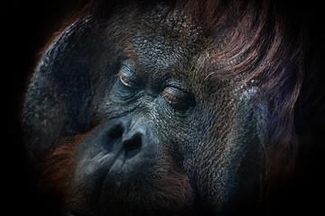Orangutan face on black background