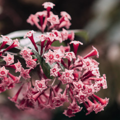 Canary island Flower. Pink mood. Plant lover concept
