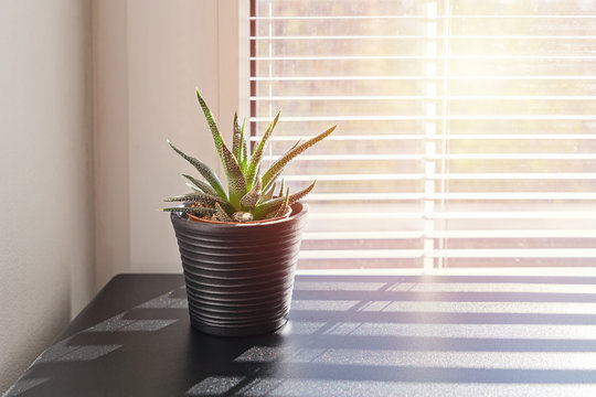 Aloe succulent cactus plant in small pot on background of window with blinds. Humidity and quality of air in the house concept