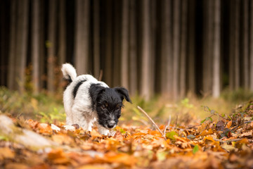 Cute jack russell terrier puppy dog in the autumn forest - 15 weeks old