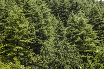 green thick coniferous forest on the hill