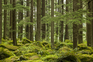 thick green tree coniferous forest and rocks moss