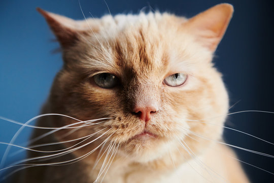 Closeup shot of dissatisfied red cat looking at camera while sitting on blue background