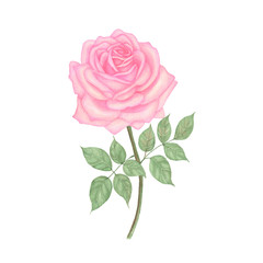 Rose Hand drawn sketch and watercolor illustrations. Watercolor painting Rose. Rose Illustration isolated on white background.