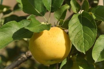 黄色いりんご トキ