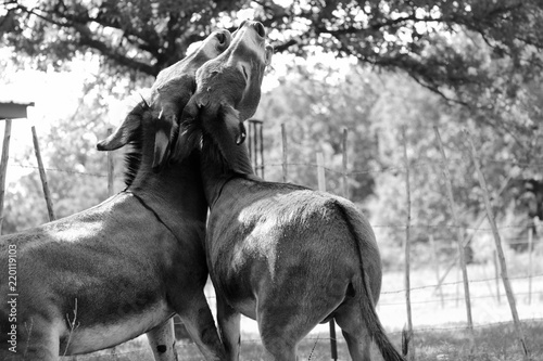 Two mini donkeys in black and white play together on rural