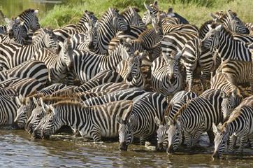 Wall Murals Zebra Serengeti, Tansania