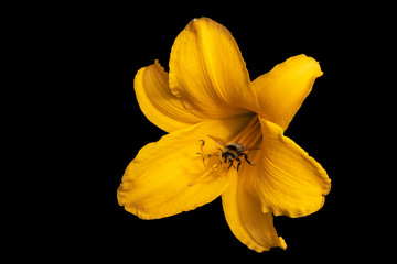 Color macro of a single isolated wide open yellow daylily blossom on black background with a bee resting,detailed texture,vintage painting style,symbolic pause break rest