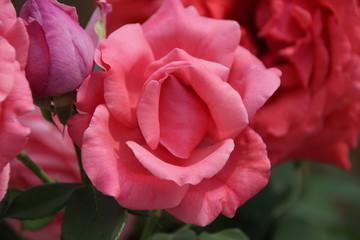 Close-up Pink Rose