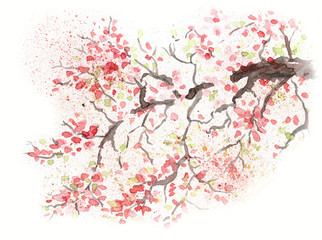 Japanese cherry blossom cherry flower. Watercolor illustration