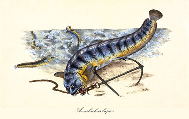 Ancient colorful illustration of Atlantic wolffish (Anarhichas lupus), ugly fish biting a rope, isolated element on white background. By Edward Donovan. London 1802