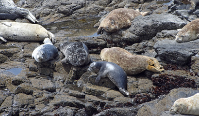 Harbor Seals on the N. California coast