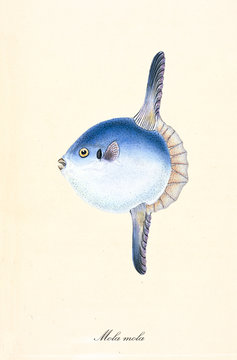 Ancient colorful illustration of Ocean sunfish (Mola mola), side view of the big rounded fish with the mouth similar to a beak, isolated element on white background. By Edward Donovan. London 1802