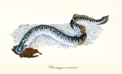 Ancient colorful illustration of Sea Lamprey (Petromyzon marinus), detailed view of the long fish with its stripped skin, isolated elements on white background. By Edward Donovan. London 1802