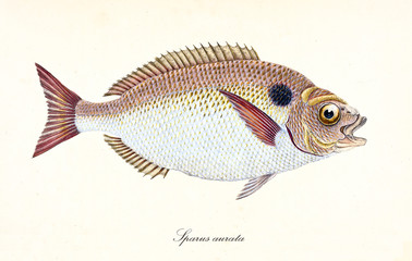 Ancient colorful illustration of Gilt-Head Bream (Sparus aurata), side view of the rounded fish with its orange and white skin, isolated elements on white background. By Edward Donovan. London 1802