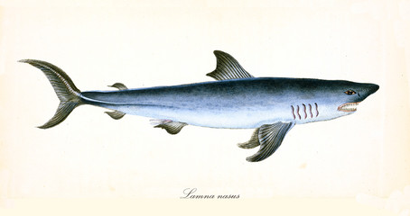 Ancient colorful illustration of Porbeagle (Lamna nasus), side view of the menacing shark with its darkish blue skin and fangs, isolated element on white background. By Edward Donovan. London 1802