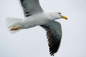 Flying Sea Gulls in White Sea, Russia
