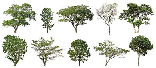 Wall Mural - Collection of big trees isolated on white background : for graphic decoration