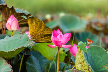 Beautiful  Da Helian lotus in NEW taipei taiwan