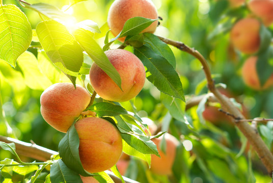 Ripe peaches on a tree in a fruit garden.