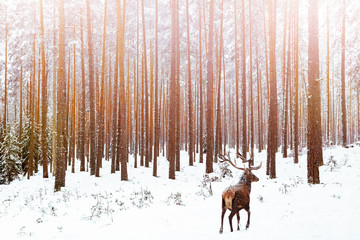 Wall Mural - Lonely noble deer male in pine winter forest. Christmas winter image.