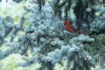 Cardinal in a blue spruce