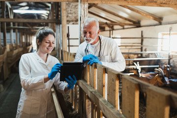 Man and woman veterinarians at large goat farm checking goats's health.