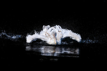 Pelican with flapping wings and blue drops of water swimming in deep black sea, wildlife  Wall mural