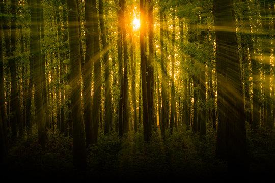 Sun shining through trees with beautiful warming sun beams penetrating dark green forest