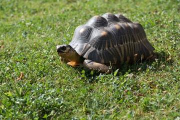 żółw olbrzymi na trawie