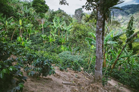 Plantation de café Vallée de Cocora en Colombie
