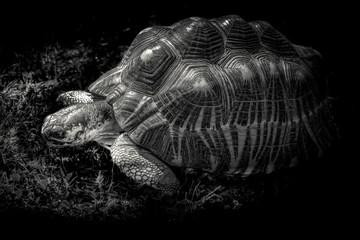 żółw olbrzymi na czarnym tle