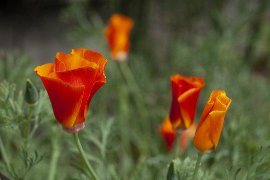 Wild, bright orange poppies grow as the California state flower.
