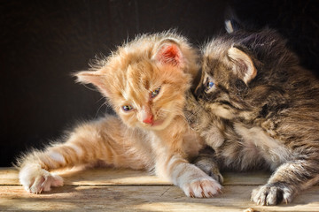 Two little fluffy playing kitten
