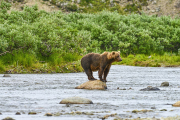 brown bear searching for salmon on rock