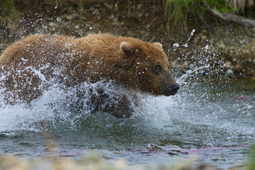 brown bear giving chase