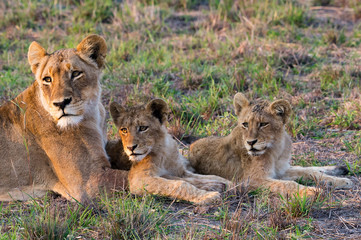 Female Lion Tends To Her Cubs
