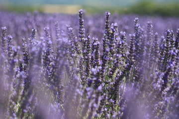 Close-up of growing violet lavender in French Provence