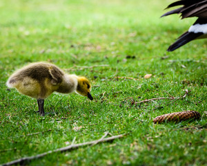 Baby Canada Goose Gosling Grazing on Grass