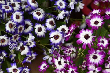 Group of several purple and blue daisy flowers with a blurred background in New Delhi, India.