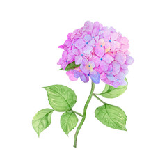 Hydrangea Hand drawn sketch and watercolor illustrations. Watercolor painting Flower . Hydrangea Illustration isolated on white background.