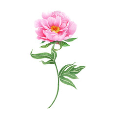Peony Hand drawn sketch and watercolor illustrations. Watercolor painting Peony. Peony Illustration isolated on white background.