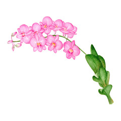 Orchids Hand drawn sketch and watercolor illustrations. Watercolor painting Orchid. Orchids Illustration isolated on white background.