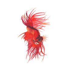 Fighting fish Watercolor painting isolated. Watercolor hand painted cute animal illustrations. Fighting fish isolated on white background