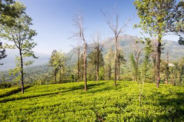 ShriLanka tee plants