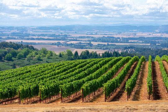 A look over rows of lush green vines in an Oregon vineyard, lit by morning sun, with a view of the forest and valley beyond.