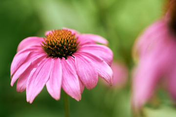 Macro purple coneflowers with green dreamy blur and bokeh background