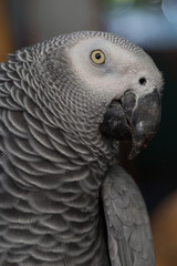 Face and eye of African Grey Parrot sitting on timber