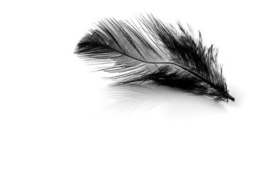 Close-up of small black feather isolated on white background