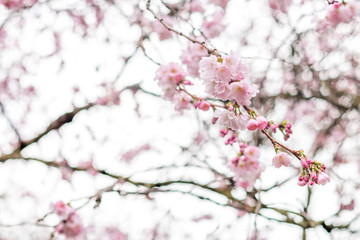 Cherry tree branches in bloom in white background